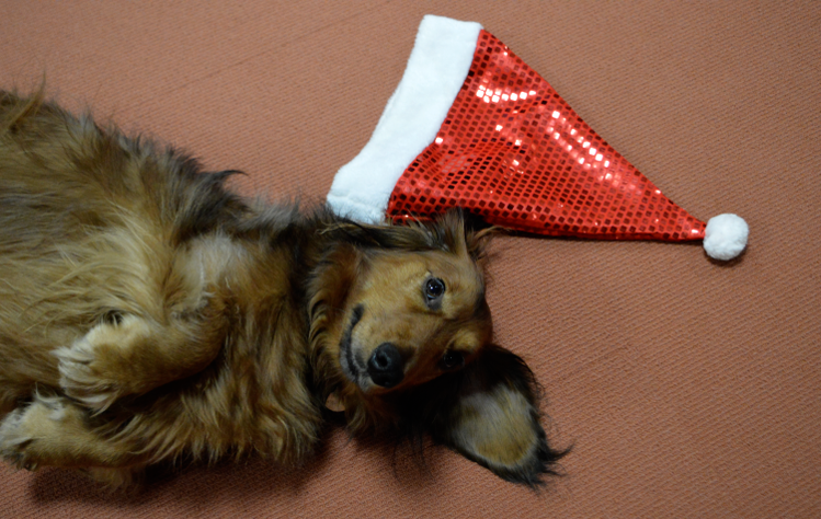 Our Christmas Office dachshund